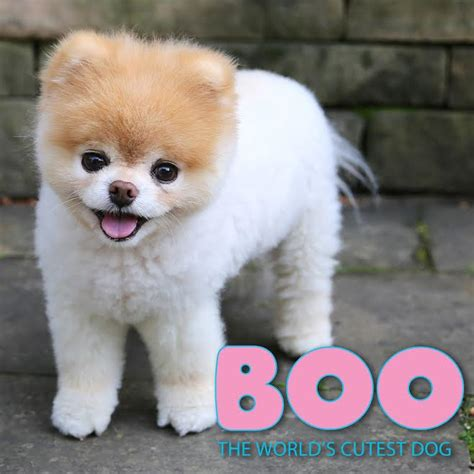 cutest puppy in the world boo boo the world s cutest licensees added the licensing book