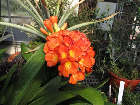bright clivia flowers bring cheer over a dreary winter what grows there hugh conlon