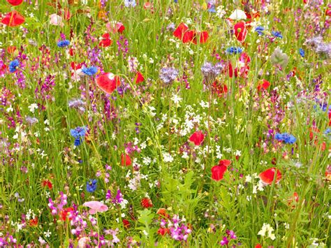 creating a wildflower meadow saga