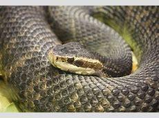 Top 10 Venomous and Non Poisonous Snakes of Florida Western Diamondback Rattlesnake Head