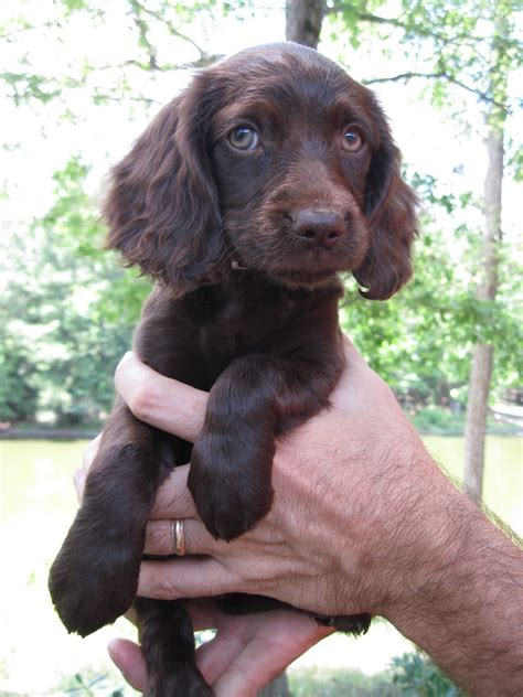 boykin spaniel puppies for sale boykin spaniel puppies for sale picture and images