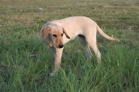 lab puppies for sale in south dakota lab puppies black lab puppy for sale rachael edwards