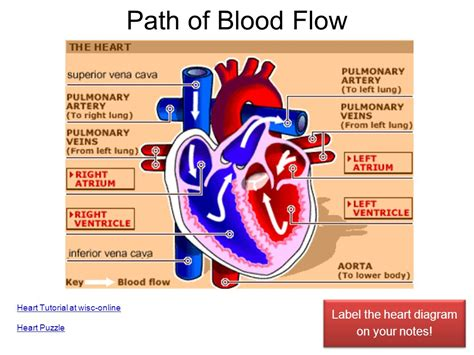 diagram with labels and blood flow cardiovascular system ppt