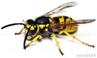 Yellow Jacket What Are The Different Ways To Treat Yellow Jacket Stings