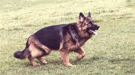 how to your german shepherd like a german shepherd hip dysplasia petcarerx