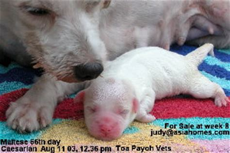 puppy stuck in birth canal can chihuahuas give birth naturally canidoitorg breeds picture