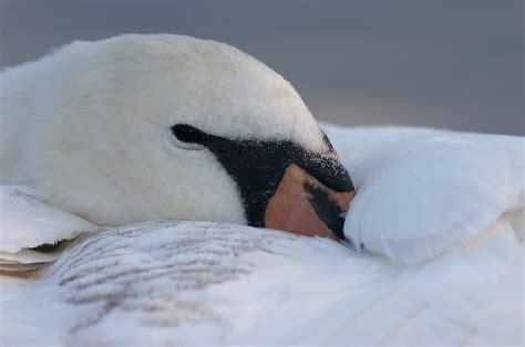 wie lange schlafen neugeborene schlafender schwan forum f 252 r naturfotografen