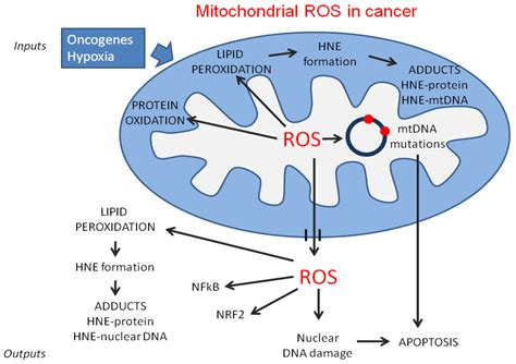 R Table Function Antioxidants Free Full Text Mitochondrial Dysfunction