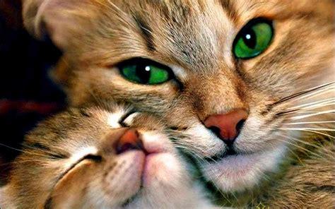 chat wallpaper download beau chat aux yeux verts de fond d 233 cran hd 233 cran large