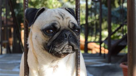 do pugs bark 10 reasons why pugs are the best breeds
