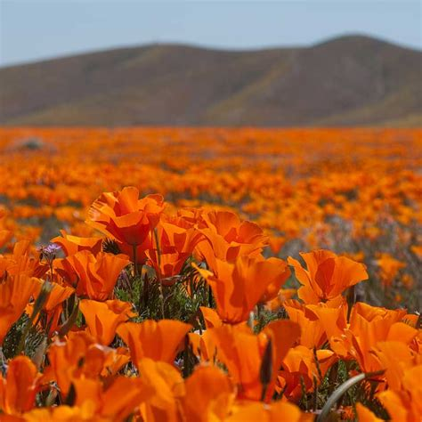 pictures of flowers in southern california beautiful california flower fields you must visit this spring