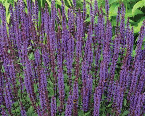 plant with purple flowers salvia flower seeds and plants farmer seeds