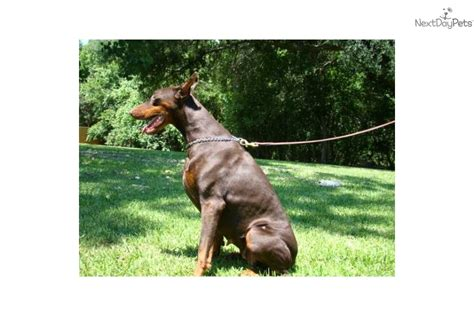 doberman puppies for sale los angeles doberman pinscher puppies for sale in los angeles california breeds picture