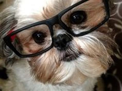 spell shih tzu 17 best images about shi zhu however you spell it on costumes