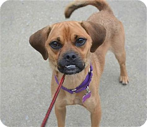 pug beagle mix for adoption murphy adoption pending adopted youngstown oh pug beagle mix