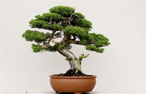 here s a thought bonsai a guide to bonsai in boston