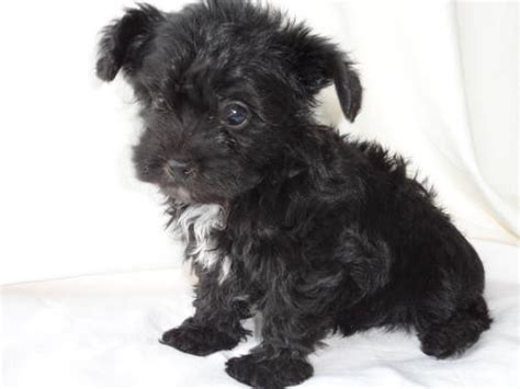 black morkie puppies yorkie poo puppies images black baby yorkiepoo wallpaper and background photos