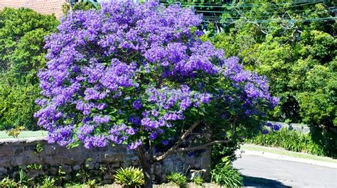 small shrubs with flowers jacaranda trees burke s backyard