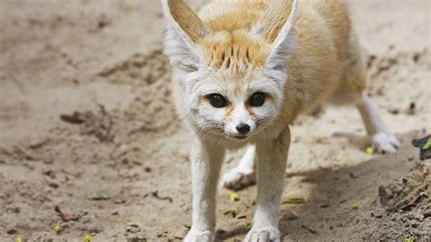 Baby Fennec Fox Wallpaper - fennec fox hd wallpaper and background image