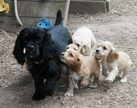 puppies for sale ontario apricot cockapoo puppies puppies for sale dogs for