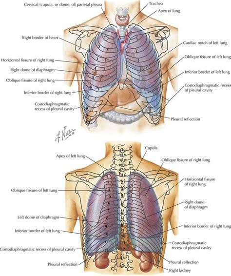 Cupula Definition Thorax Basicmedical Key