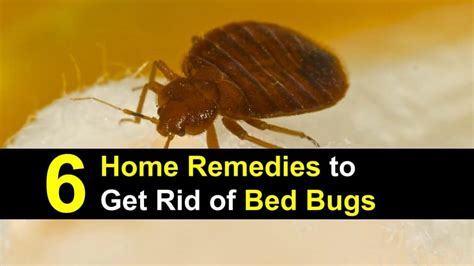 getting rid of bed bugs home remedies 6 home remedies to get rid of bed bugs incl recipes