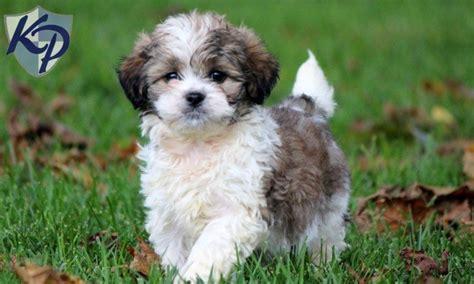 shihpoo puppy pin year genetic guarantee on
