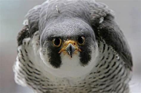 peregrine falcon native species to ohio pinterest