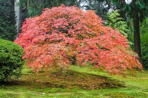 japanese maple trees everything you wanted to know the tree center