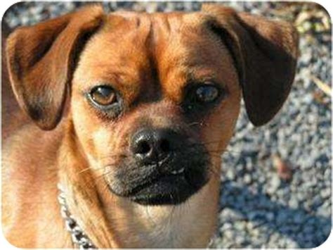 pug pinscher max adopted 11 177 rigaud qc miniature pinscher pug mix