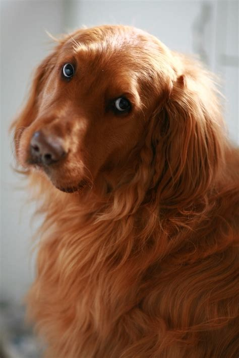 what does a golden retriever look like 25 reasons golden retrievers are actually the worst dogs to live with