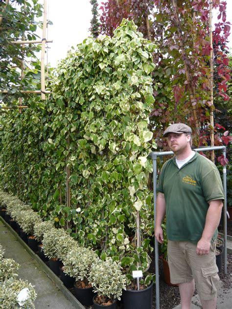 kletterpflanze schattig winterhart buntlaubiger kolchischer efeu dentata variegata efeu