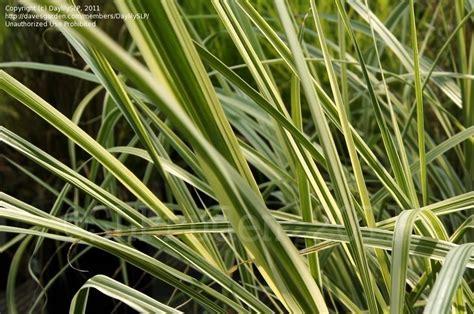 China Garden Wixom Mi by Plantfiles Pictures Eulalia Maiden Grass Zebra Grass Silvergrass Rigoletto