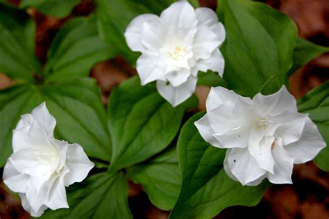 trillium week at framingham s garden in the woods signals the arrival of spring the artery