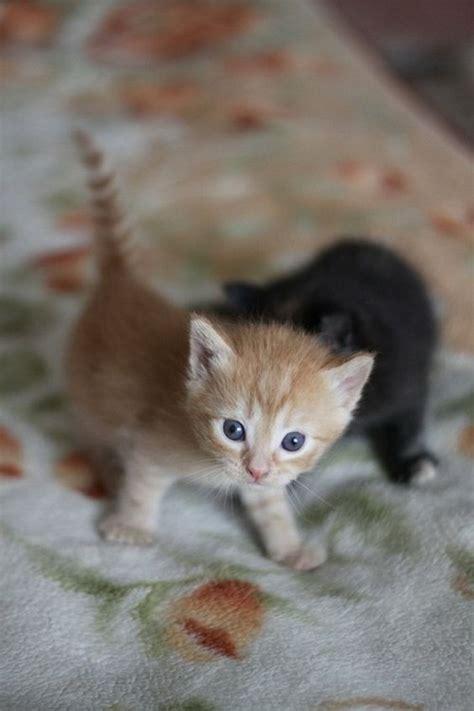 Supercat Kitten 800gr baby kittens wallpapers kittens cat breeds and