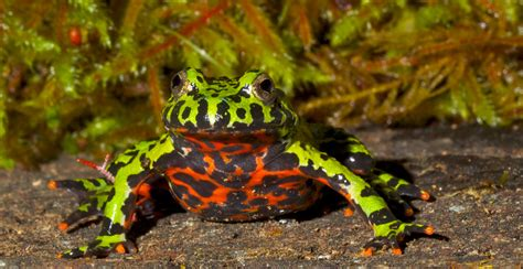 fire belly toad zoo med laboratories