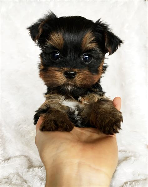 teacup yorkie adults size iheartteacups we beautiful and tiny teacup and micro mini sized tea puppies for