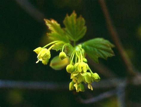 fiori di acero coltivazioni forestali acero opalo