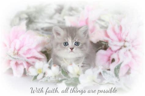 rug hugger kittens lilac tabby rug hugger kittenultra kittens for sale 660 292 2222