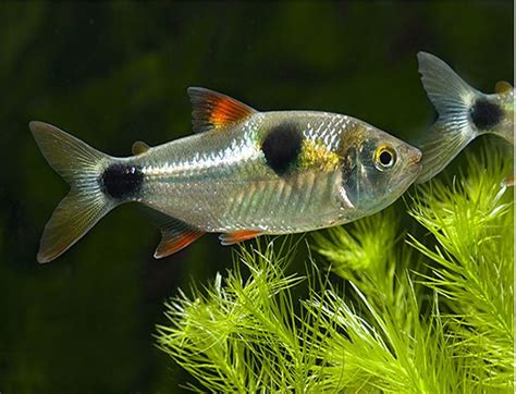 buck toothed buck toothed tetra exodon paradoxus tropical fish