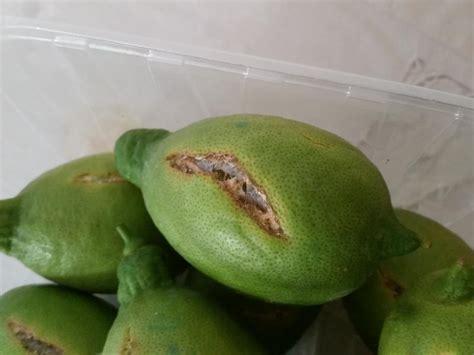 come curare i limoni in vaso come curare una pianta di limone awesome limone with come