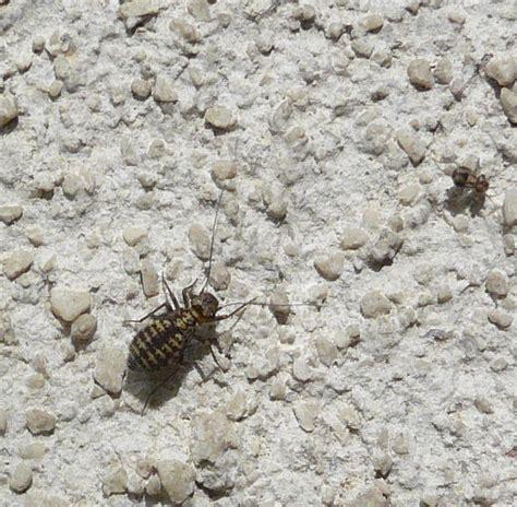 insetti da casa invasione di psocotteri sui muri di casa forum natura