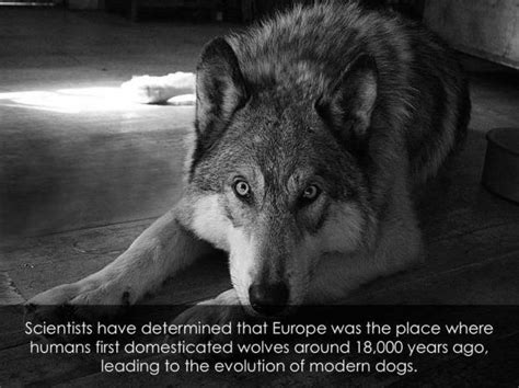 when were dogs domesticated new study finds dogs were domesticated from grey wolves in europe