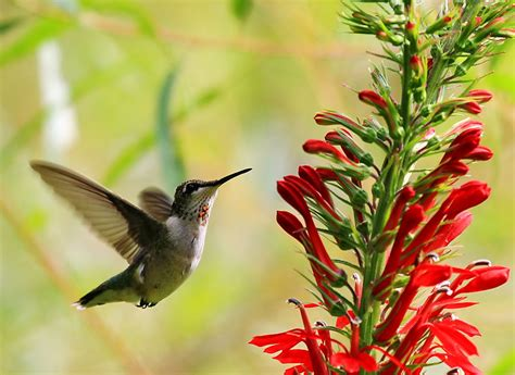 attract hummingbirds to your backyard merrifield garden