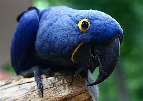 watching birds hyacinth macaw parrot