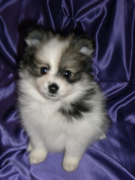 black and white teacup pomeranian for sale white teacup puppies white teacup puppies for sale breeds picture