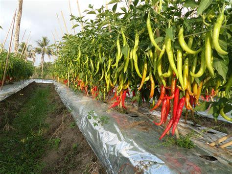Benih Cabe Imola cabe besar f1 imola 10gr 1800benih purie garden