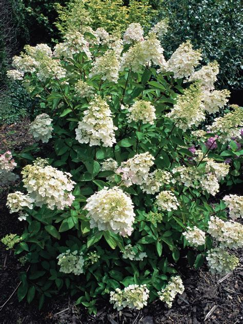 early flowering shrubs how to prune early flowering shrubs hgtv