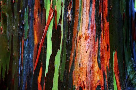 rainbow trees photos the rainbow eucalyptus tree drunk astronaut