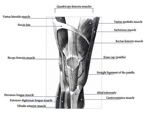 tendons in the knee diagram knee anatomy pictures bones ligaments muscles tendons